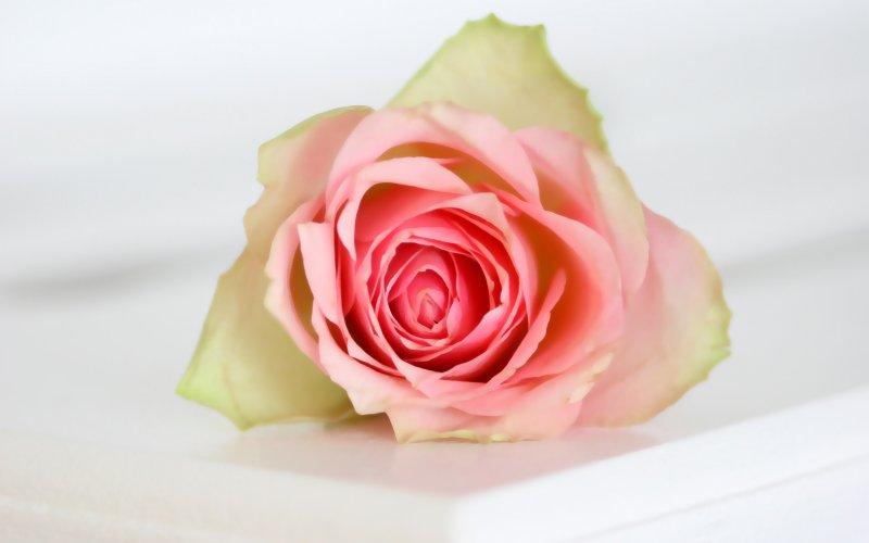 ruža njega