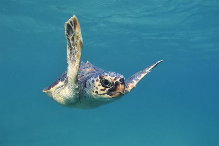 Puštanje kornjača